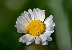 Daisy isolated on green background royalty free stock photos