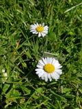 Close up daisy Royalty Free Stock Photo