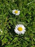 Close up daisy Stock Photos