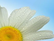 Close up of a Daisy. With a plain background Royalty Free Stock Photo