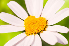 Close up on a daisy shape of a heart Royalty Free Stock Photos