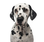 Close-up of a Dalmatian Royalty Free Stock Images