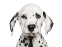 Close-up of a Dalmatian puppy facing, looking at the camera. Isolated on white royalty free stock photography