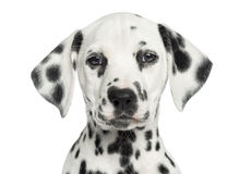 Close-up of a Dalmatian puppy facing, looking at the camera. Isolated on white stock image