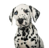 Close-up of a Dalmatian puppy Royalty Free Stock Images