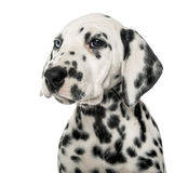 Close-up of a Dalmatian puppy. In front of a white background royalty free stock photos