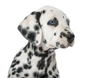 Close-up of a Dalmatian puppy with heterochromia Stock Photos