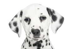 Close-up of a Dalmatian puppy, looking at the camera, isolated Stock Photos