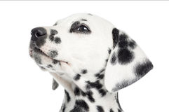 Close-up of a Dalmatian puppy, looking up, isolated Stock Photography