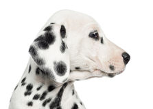 Close-up of a Dalmatian puppy's profile, isolated Royalty Free Stock Image