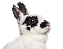 Close-up of Dalmatian Rabbit Royalty Free Stock Photography
