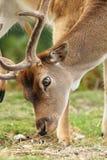 Close up of dama buck grazing Royalty Free Stock Image