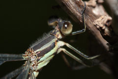 Close-up of a Damselfly Royalty Free Stock Photo