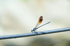 Damselfly. The close-up of a damselfly on electric wire Royalty Free Stock Photos