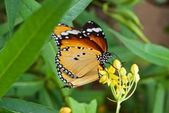 Close up Danaus chrysippus butterfly with yellow-orange wings sits on a yellow flower stock image