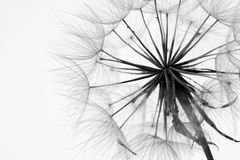 Close-up of dandelion. Isolated close-up of dandelion royalty free stock photos