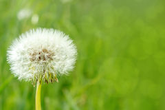 Close up of Dandelion Royalty Free Stock Photography