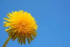 Close up of dandelion Stock Photo