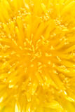 Close-up of a dandelion Stock Image
