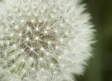 Close up of a Dandelion. Macro of a dandelion top royalty free stock images