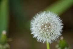 Close-up of Dandelion Royalty Free Stock Images
