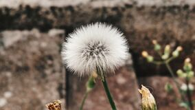 Close-up of Dandelion Royalty Free Stock Photo