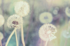 Close up of Dandelion with abstract color Stock Image