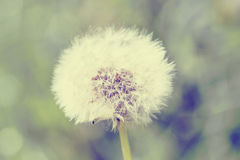 Close up of Dandelion with abstract color Royalty Free Stock Photos