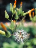Close-Up Of Dandelion Against Blurred Background royalty free stock photos