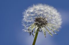 Close-up of Dandelion Against Sky Royalty Free Stock Photo