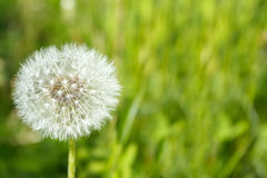 Close up of Dandelion Stock Photography