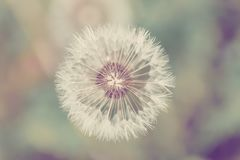 Close up of Dandelion on background green grass stock images