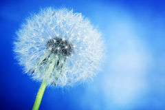 Close-up of dandelion on blue sky background. Spring Stock Photography