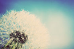 Close-up of dandelion, blue sky. Vintage spring background Royalty Free Stock Photography