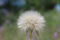 Close-up of a dandelion royalty free stock photos
