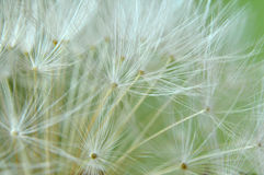Close Up of a Dandelion Clock Royalty Free Stock Image