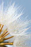 Close-up of dandelion with drops Stock Photos