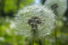 Close up dandelion flower in blue bright turquoise. Background horizontal view. Stock Photography