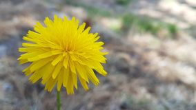Close up of dandelion flower. With blur background royalty free stock photos