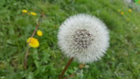 Close up of dandelion flower. With green grass background stock photo
