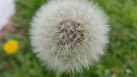 Close up of dandelion flower. With defocused background stock photos