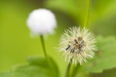 Close up of Dandelion Stock Photo