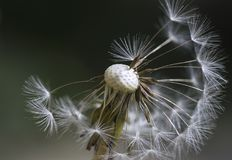 The inside of a dandelion. The close-up of a dandelion flower getting ready to spread its seeds around the field Royalty Free Stock Photos