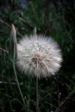 Close up of a Dandelion Flower during Spring Royalty Free Stock Images