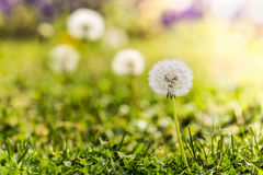 Close up of a dandelion flower in a sunny meadow. Stock Photo