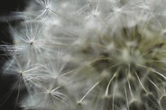 Taking a closer look. A close-up  of a dandelion flower, taken from a slightly different perspective Royalty Free Stock Image