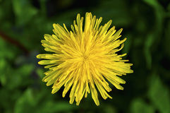 Close up of a dandelion flower Stock Images