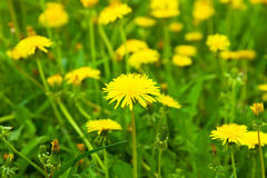 Close-up of  dandelion flowers Royalty Free Stock Photo