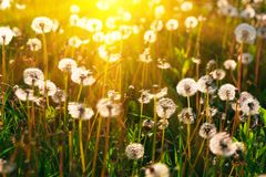 Close up dandelion flowers with sunlight rays. Spring background. Copy space. Soft focus.  royalty free stock images