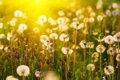 Close up dandelion flowers with sunlight rays. Spring background. Copy space. Soft focus.  stock photos